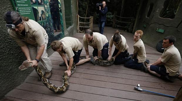 Funcionários do Zoológico de Chester sentam sobre os 7 metros da píton Bali para imobilizá-la durante o exame (Foto: Phil Noble/Reuters)