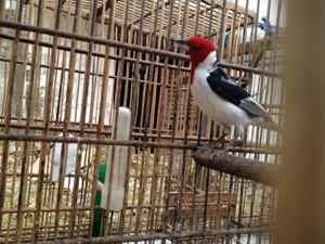 A multa por ave é de R$ 500, podendo chegar a R$ 5000, caso esteja na lista de extinção (Foto: Walter Paparazzo/G1)