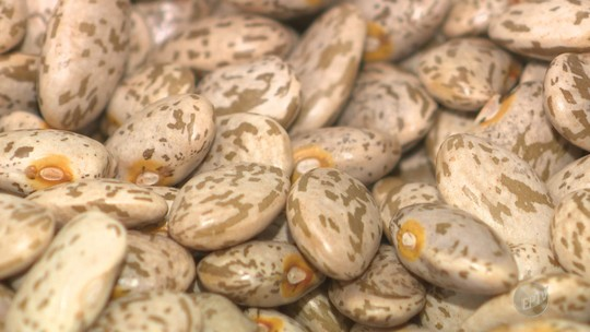 Novos feijões desenvolvidos em Campinas chegam ao mercado este ano como alternativa ao 'carioca'