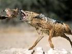 Veja ave escapando de ataque de chacal e mais fugas incríveis da caça