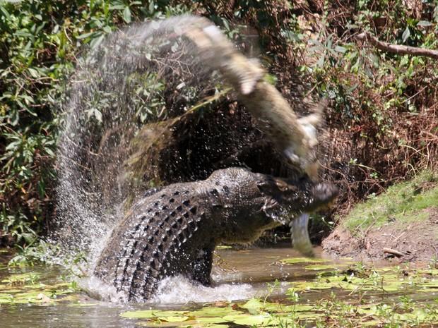 Crocodilo enorme sacudiu rival menor no ar (Foto: Sandra Bell/AP)