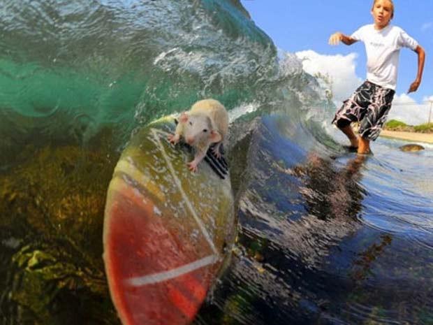 Em 2008, o americano Boomer Hodel ensinou seus dois ratos a pegarem onda no Havaí (Foto: AP)
