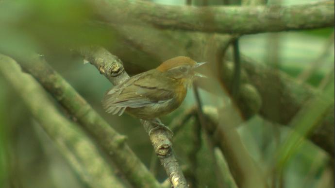 No meio das árvores, é difícil visualizar os pássaros (Foto: Divulgação / TV Gazeta ES)