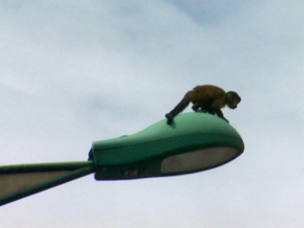 Após fuga, macaco é resgatado por bombeiro em poste de avenida no AM (Foto: Reprodução/TV Amazonas)