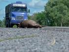 Cheia de rio aumenta animais em rodovias na região do Pantanal de MS