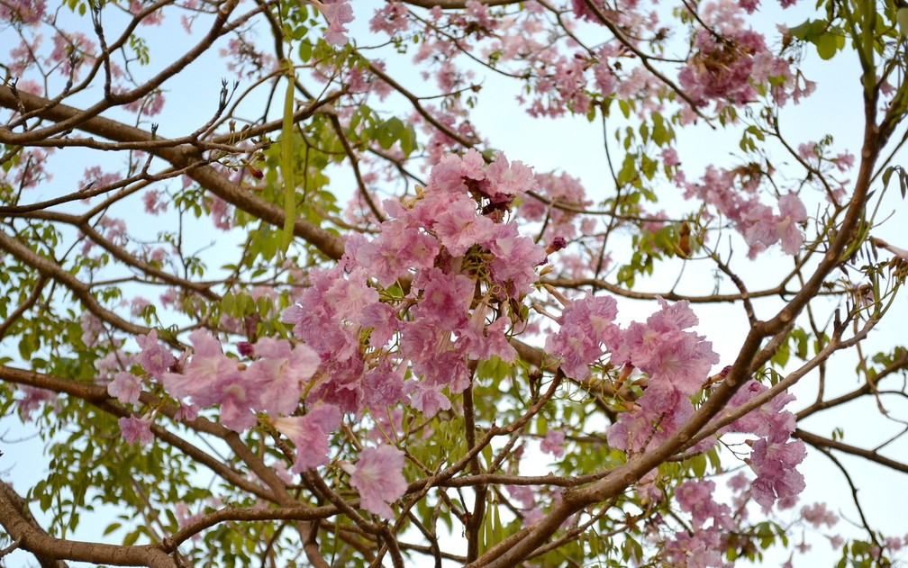 Ipê rosa começa florada no Vale do Guaporé (Foto: Rese Costa/Arquivo Pessoal)