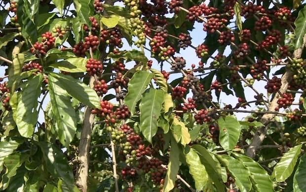 Série 'Potencial Produtivo de Cacoal' mostra o cultivo de café, em Cacoal (Foto: Bom Dia Amazônia)