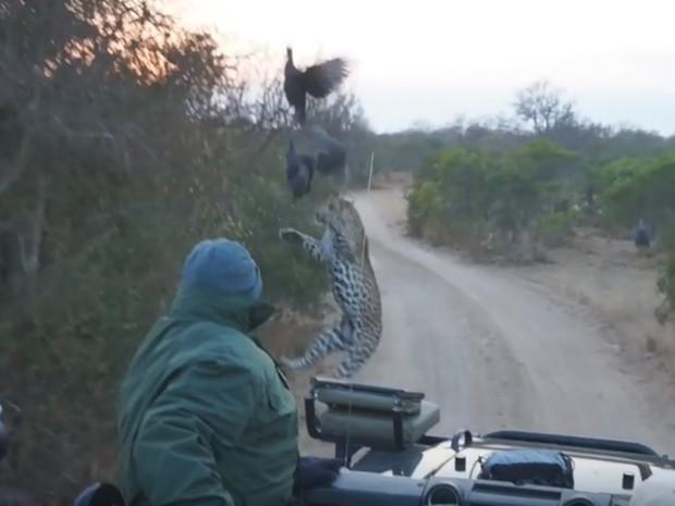 Grande felino, porém, falhou no ataque e não conseguiu pegar a refeição (Foto: Reprodução/YouTube/Kruger Sightings)