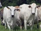 Cabeça de novilha leiteira é vendida em média, por R$ 1.920,00, em RO