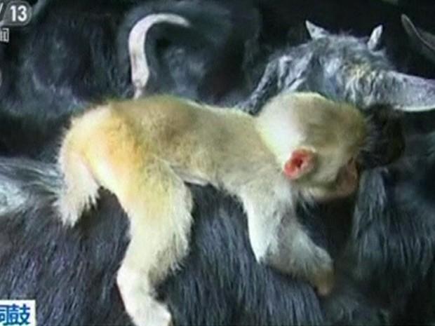 Dono das cabras acredita que primata surgiu de floresta próxima (Foto: BBC)