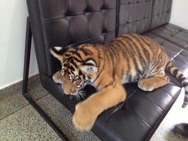 Tigre de um treinador de Garça está no local para tratamento na pata  (Foto: André Godinho/ TV Tem)