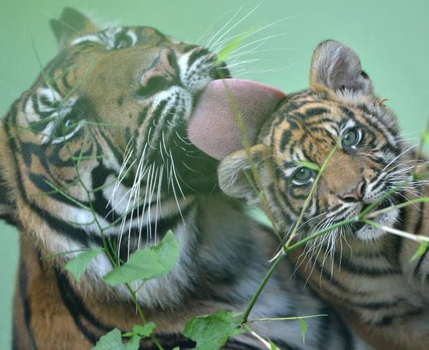 Tigresa 'Malea' foi vista lambendo carinhosamente a filhote 'Berani' em zoo na Alemanha (Foto: Arne Dedert/AFP)