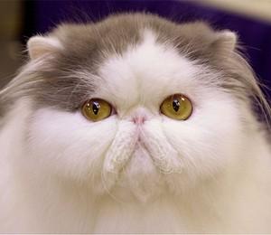 Gato Persa (Foto: Chris Hondros)