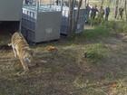 Tigre solto por Putin é suspeito de atacar caprinos na China