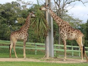 Girafas são tema de programação especial neste mês no zoo de Pomerode (Foto: Zoo de Pomerode/Divulgação)