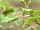 El Niño reduz chuvas e afeta produção de grãos no sul do Maranhão