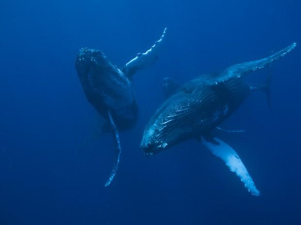Baleias jubarte mergulhando na costa brasileira (Foto: Divulgação/ Instituto Baleia Jubarte)