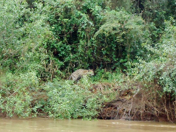 Antes de atacar animal, onça foi vista andando na mata, perto do rio (Foto: Juliano Macedo/ VC no G1)