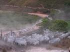 Aumenta número de casos de brucelose no rebanho do Maranhão