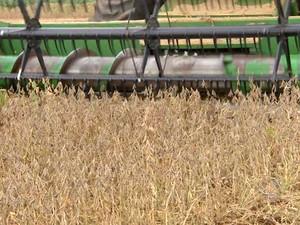 Após colherem variedades precoces, produtores devem fazer pausa nos trabalhos e reiniciá-los entre o fim de janeiro e o início de fevereiro (Foto: Reprodução/TV Morena)