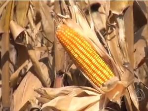Produção de milho safrinha em Mato Grosso do Sul (Foto: Reprodução/TV Morena)