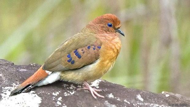 Ave tem plumas castanhas com manchas azuis nas asas e olhos também azulados  (Foto: Rafael Bessa)