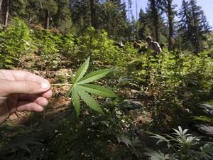 Guarda florestal mostra planta de maconha em plantação encontrada no Parque Nacional de Cascad (Foto: REUTERS/David Snyder/Handout via Reuters)