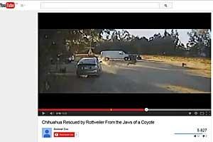 Rottweiler salva chihuahua de coiote faminto (Foto: Reprodução / CCTV – Trixxie / Youtube)