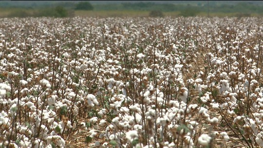 Plantio de algodão resiste à seca e é alternativa de agricultores na Paraíba