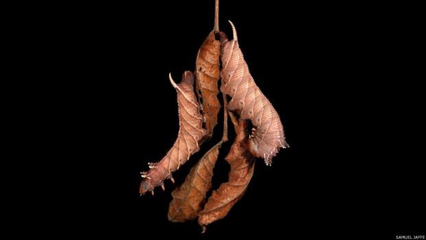 6)Algumas são capazes de mudar a aparência para se disfarçarem de cobra; outras conseguem se parecer com uma folha morta ou um galho. Na imagem, exemplares de Ceratomia amyntor penduradas em um galho de folhas mortas de olmo (Foto: Samuel Jaffe/Divulgação)