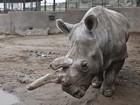 Morre nos EUA um dos últimos quatro rinocerontes brancos do mundo