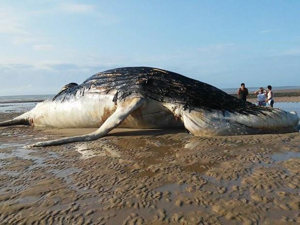 Em 2015 já foram registrados 28 encalhes de baleias na costa brasileira (Foto: Rosiane Jesus/Site Prado Notícia)