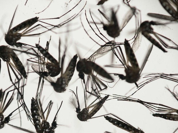 Aedes aegypti no instituto Fiocruz em Recife. O mosquito é transmissor de doenças como a dengue, chikungunya e do vírus zika, causador da microcefalia (Foto: Felipe Dana/AP)