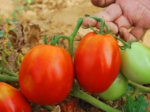Nova variedade de tomate (Foto: Cristina Lemos / arquivo pessoal)
