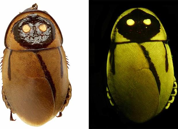 """Barata que brilha no escuro imita besouro como forma de camuflagem e defesa de predadores (Foto: Peter Vršanský/""""Naturwissenschaften""""/Divulgação)"""