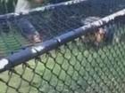 Crocodilo ataca funcionária em parque australiano e choca turistas