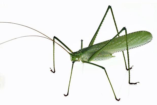 Novo inseto, muito parecido com uma esperança, também foi encontrado na expedição (Foto: Divulgação/Piotr Naskrecki/Conservação Internacional)