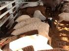 Município do Ceará ganha centro de apoio à produção de ovino e caprino