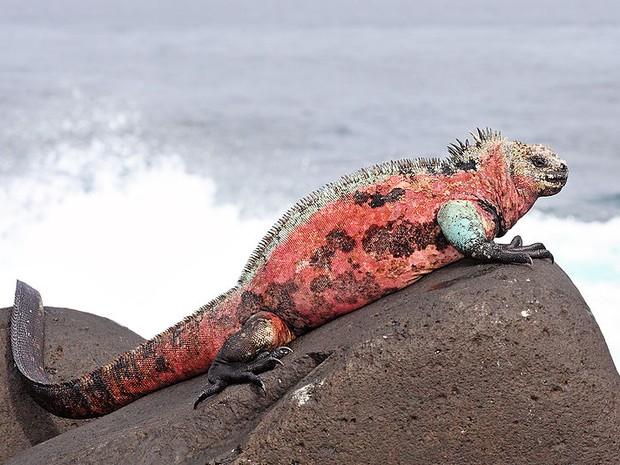 Uma iguana das Ilhas Galápagos sente o vento que sopra o calor das Américas para o oceano Pacífico (Foto: Benjamint444/Wikimedia Commons)