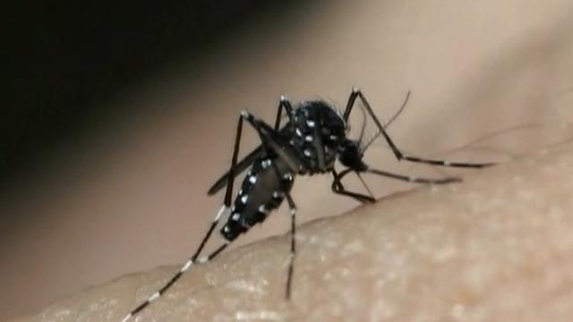 Mosquito Aedes aegypti (Foto: Reprodução/TV Tribuna)