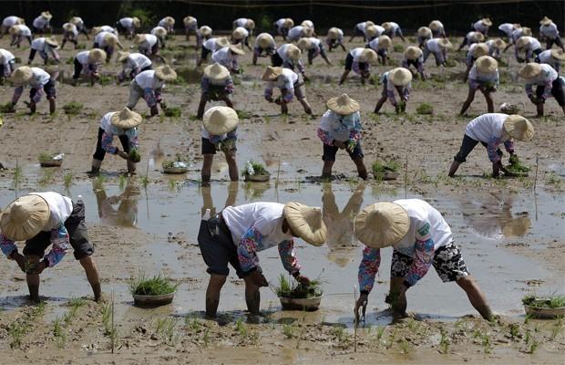 Em 18 de agosto, 1.215 agricultores plantaram mudas de arroz em Taoyun, no norte de Taiwan, para entrar para o Guinness. (Foto: Pichi Chuang/Reuters)