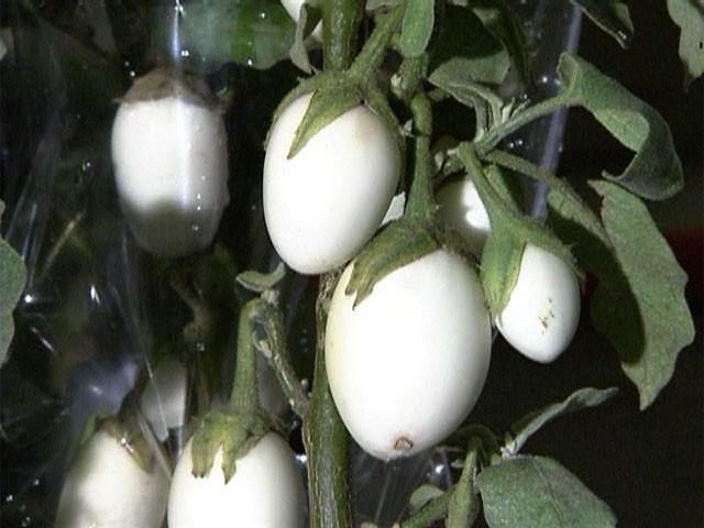 Planta ovo faz sucesso em Holambra, interior de São Paulo (Foto: Mais Você/ TV Globo)