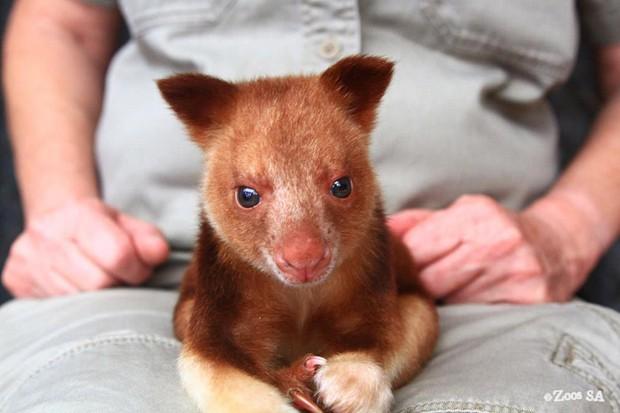 Canguru-arborícola chamado Makaia órfão conseguiu sobreviver porque ficou no bolso de wallaby por três meses  (Foto: Facebook/Reprodução/Adelaide Zoo)