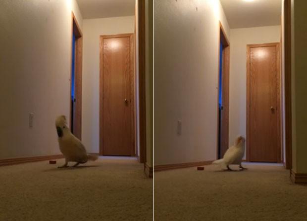 Vídeo de cacatua andando de um lado para o outro vira hit na web (Foto: Reprodução/YouTube/Katie Vannoy)
