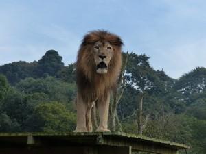 Leão Rawell passa a ser exposto no zoológico de Curitiba (Foto: Adriana Justi/G1)