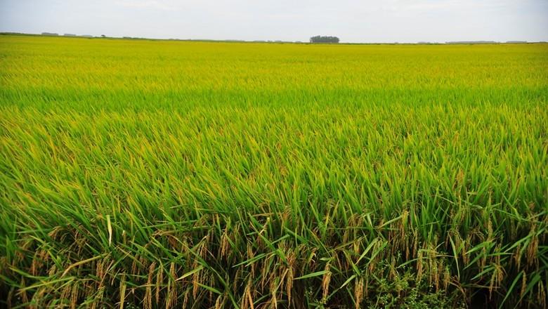 agricultura_arroz (Foto: Ernesto de Souza/Ed. Globo)