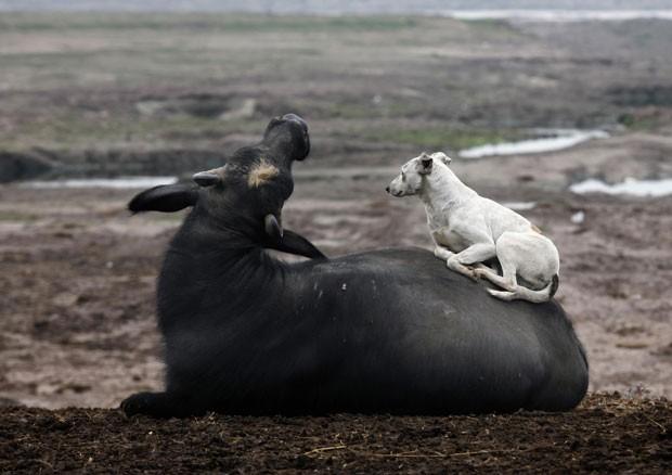 Um cão foi flagrado nesta segunda-feira (4) descansando sobre um búfalo perto do rio Ravi em Lahore, no Paquistão (Foto: Mohsin Raza/Reuters)
