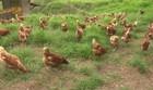 PB Rural mostra produção de ovo de galinha (Reprodução)