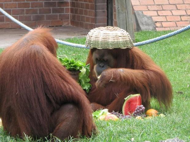 Macaco vira cesta de natal na cabeça (Foto: Divulgação)