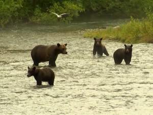 Urso Pardo (Foto: Reprodução)